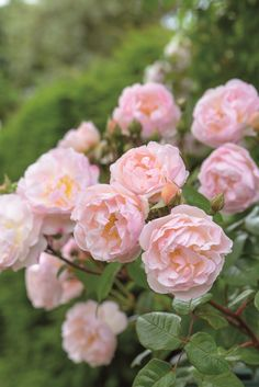 ~Rosa 'The Lady Of the Lake' Ausherbert' David Austin Roses