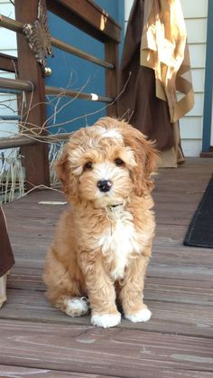 A gorgeous Amber coloured Cockapoo. This breed is in the running for when I finally get a puppy next year.