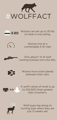 Wolf facts NOTE: the (fact) about hunting licenses is out of date. The use of helicopters has increased the number of wolves killed per license.