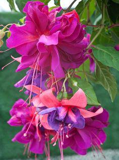 Fuchsia Whitehill Sensation - Simply Seeds and Plants