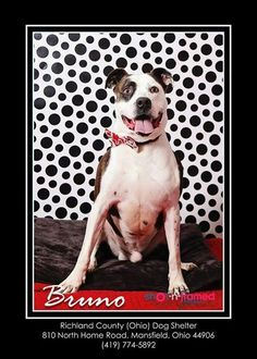 ★6•23•16 SL★-Meet Bruno - Urgent, a Petfinder adoptable Pit Bull Terrier Dog | Mansfield, OH | Hi there, my name is Bruno. I came to the shelter as a stray on 5/16/14. I was really scared when I...