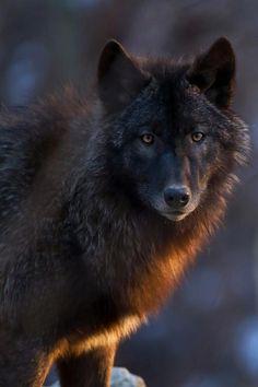 ** Black wolf