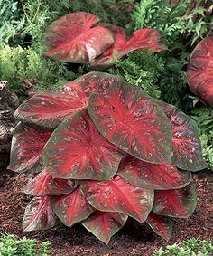 Loving this Red Flash Fancy Leaf Caladium Bulb - Set of Six on #zulily! #zulilyfinds