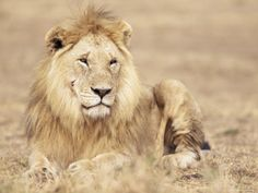 Male Lion Resting in the Grass, Kenya, East Africa, Africa - Photographer James Gritz