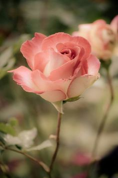 pink rose Can not help but look at the most beautiful flowers God creates. Thank You God for your works of beauty! pink rose Can not help but look at… Flowers Nature, My Flower, Pretty Flowers, Pink Roses, Pink Flowers, Colorful Roses, Yellow Roses, Rosa Rose, Coming Up Roses