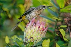 Cape sugarbird on protea, Protea roupelli, Kirstenbosch, Cape Town, South Africa