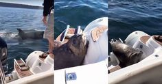 Quick-thinking seal escapes killer whale attack by jumping on a boat