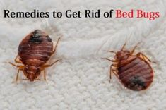 How to Kill Roaches Fast? Best Pest Control, Pest Control Services, Bug Control, Rid Of Bed Bugs, Bed Bug Bites, Termite Control, Pest Solutions, Bees And Wasps, Pest Management
