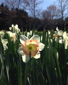 Beautiful day @ the Daffodil Gardens! Over 20 million on display. #daffodils  #flowers #gardens #springflowers