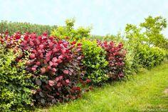 Les espèces d'arbustes pour planter une haie avec une sélection de 6 espèces idéales qui vous serviront de verger, de brise-vue ou de décor au fond du jardin.