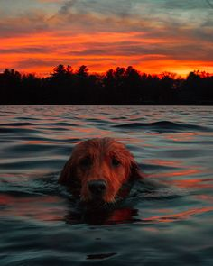 Swimming home after a long evening chasing ducks