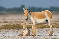 Indian wild ass mother with foal