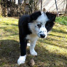 #Finlay #bordercollie #collie #dogs #Hund #Welpe #puppies #dogstagram #dogspfinstagram #loved #adorable #cute #puppy #dog #bordercolliesofinstagram #borderfame
