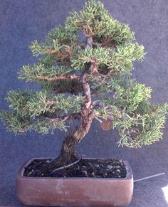 Bonsai: Common Name: Shimpaku juniper Scientific Name: Juniperus chinensis 'Shimpaku'