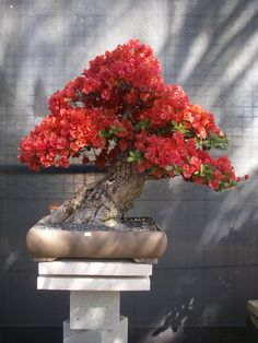 Growing bonsai from their seeds is essentially growing a tree from its seed. Get tips and guidelines on how to grow your first bonsai from its seed phase. Bougainvillea Bonsai, Bonsai Plants, Bonsai Garden, Cactus Plants, Air Plants, Ikebana, Blooming Trees, Flowering Trees, Bonsai Tree Care