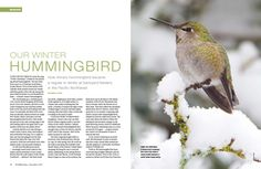 How Anna's Hummingbird became a regular in winter at backyard feeders in the Pacific Northwest.