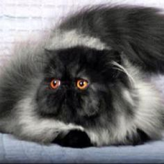My mother had one of these her name was Arabella. She was so beautiful Female black smoke Persian.