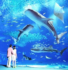 Okinawa Aquarium! Host of the most whale sharks in the world!