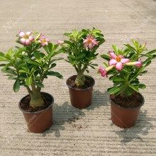 Adenium Plants Flowering Shade