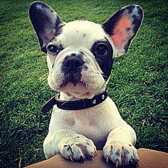 french #puppybattle
