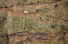 Un oso polar arriesga la vida en un acantilado por un poco de comida #CambioClimatico #WorldPressPhpto2012