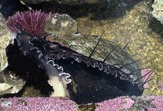 photograph of black abalone Haliotis cracherodii