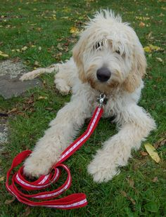 DIY dog leash- This is what Kinley is going to look like when she gets older :)