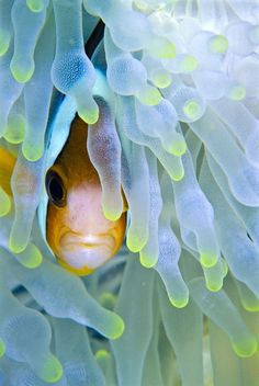 clownfish and white anemone by Dorothy Cutter on 500px