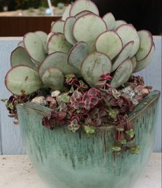Silver dollar jade and cascading red crassula in teal pot -