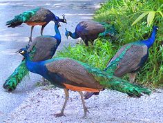 Peacocks by the side of the road in Coconut Grove, Florida