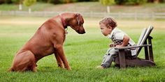 Apart from being an excellent and cruel hunter, the Rhodesian ridgeback turns out to be a gentle, obedient, and good family friend
