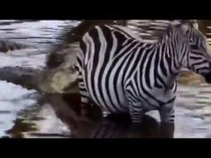 Surprising Attack | Crocodile Attack  Wildebeest Zebra  | Lions Kills Wi...