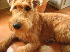 this is an Irish Terrier. I have a Lakeland terrier. Which is the same but a size smaller. I think my Lakeland Terrier would like an Irish friend. Uh oh.