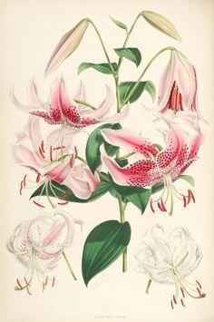 Lilium speciosum (lit) - Lilien – Wikipedia