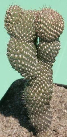 Cylindropuntia fulgida var. mammilata