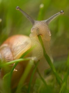 Funny pictures about Here's A Snail Eating Grass. Oh, and cool pics about Here's A Snail Eating Grass. Also, Here's A Snail Eating Grass photos. Vida Animal, Mundo Animal, Nature Animals, Animals And Pets, Cute Animals, Funny Animals, Beautiful Creatures, Animals Beautiful, The Meta Picture