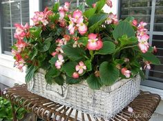 transform a picnic basket to a shabby planter, gardening, repurposing upcycling, Here it is last July filled with happy begonias Basket Planters, Diy Planters, Garden Planters, Planter Ideas, Wicker Planter, Planter Boxes, Vases, Flea Market Decorating, Vintage Planters