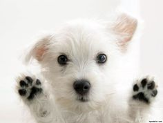 4 Set Dog West Highland Terrier Puppy Puppies Stationery Notecards Envelopes for sale online Cute White Dogs, Very Cute Dogs, I Love Dogs, West Highland Terrier, Baby Dogs, Dogs And Puppies, Doggies, Funny Puppies, Funny Dogs
