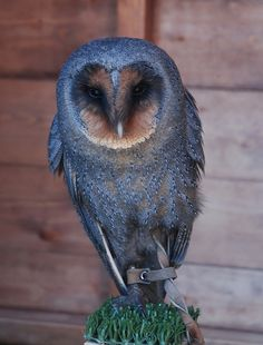 Chilling in its house - taken at the Barn at Beal, Lindisfarne, northumberland Owl Photos, Owl Pictures, Beautiful Owl, Animals Beautiful, Owl Bird, Pet Birds, Animals And Pets, Cute Animals, Eagle Animals