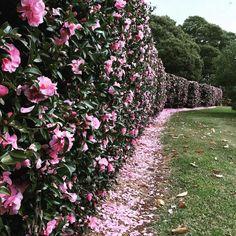 Hedges Landscaping, Garden Hedges, Front Yard Landscaping, Landscaping Ideas, Hedging Plants, Shrubs, Flowering Plants, Camelia Tree, Hibiscus