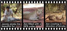 Home of Leopard.tv Wildlife Magazine, Shayamanzi wildlife ranch and wildlife music Getting To Know, Shrubs, Mystery, January, Wildlife, Articles, Tv, Reading, Animals