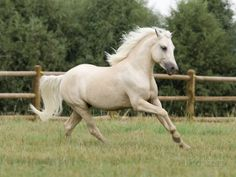 Palomino Welsh Pony Stallion Galloping in Paddock, Fort Collins, Colorado, USA Photo by Carol Walker at AllPosters.com