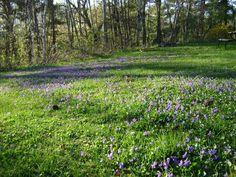 a carpet of violets