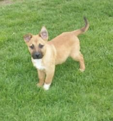 Ty is an adoptable German Shepherd Dog Dog in Liberty Center, OH. Ty is a 12 wk old neutered male Shepherd/ Lab mixed puppy.