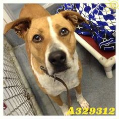 05/07/2015 **SUPER URGENT** Justine a dog to adopt, ID#A329312. At risk of euthanasia, reserve by 10am 05/07/2015 and pick up by 12pm. She is a loving and gentle soul, loves affection, a sweet and happy 2 year old Border Collie mix. She would make a great walking buddy or couch companion. Currently at Animal Care Services, San Antonio City Shelter, TX. To adopt, foster or rescue, please email: placement@sanantoniopetsalive.org