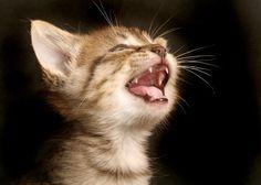 Kittens' baby teeth start erupting around 2 weeks of age. Kitten meowing by Shutterstock Pretty Cats, Cute Cats, Funny Cats, Funny Animals, Cute Animals, Baby Kittens, Cats And Kittens, Popular Cat Breeds, Pet News