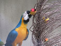 Parrot enrichment. Hide pieces of fruit into simple foraging toys and hang. Photo: Zoológico de Guarulhos