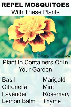 Repel Mosquitoes With These Plants To help repel mosquitoes and other bugs try planting these plant in your garden on in containers around your outdoor living space. Basil Citronella Lavender Lemon Balm Marigold Mint Rosemary Thyme Not only will these plants help repel mosquitoes but they also look and smell glorious! The herbs you can...