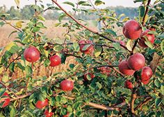McIntosh Apple Malus 'McIntosh' Zone 4