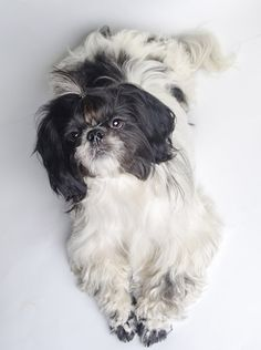 The perky Bo Shih combines the feisty Shih Tzu with the headstrong Boston Terrier for a fun little dog.